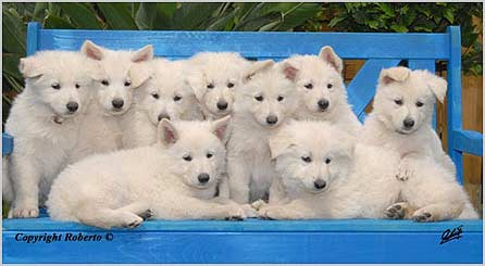 Puppies Raising Our White Shepherd Puppies